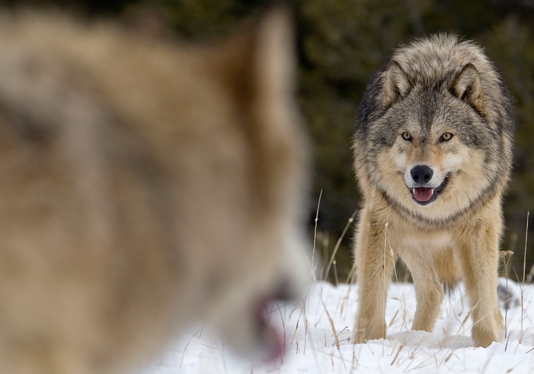 Jan 06, 2008 - Montana, USA - Alpha male Gray Wolf (Canis lupus) Grey Wolf confrontation with beta male wolf in fresh winter snow, Montana, USA. The g...