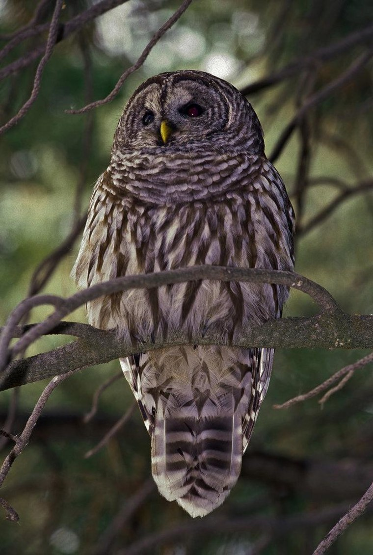 The U.S. Fish & Wildlife Service says there's a direct correlation between the growth of the barred owl, pictured, and the decline of the northern spotted owl.