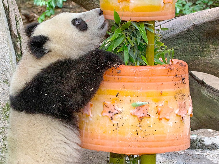 Terrific 1 Year Old Panda Cub Gets 200 Lb Ice Cake For Birthday Personalised Birthday Cards Cominlily Jamesorg