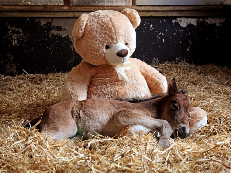 Image: orphaned foal named Breeze snuggles up with a teddy bear