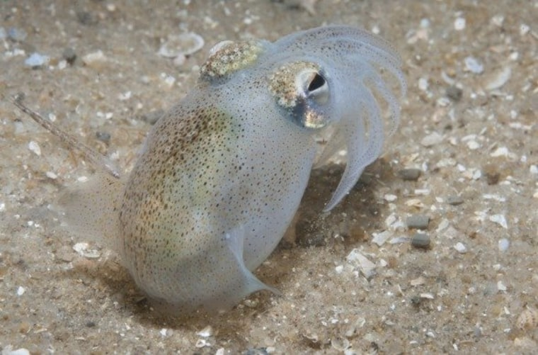 The southern bottletail squid grows up to 6 inches in length and occupies the waters off the coast of Australia.