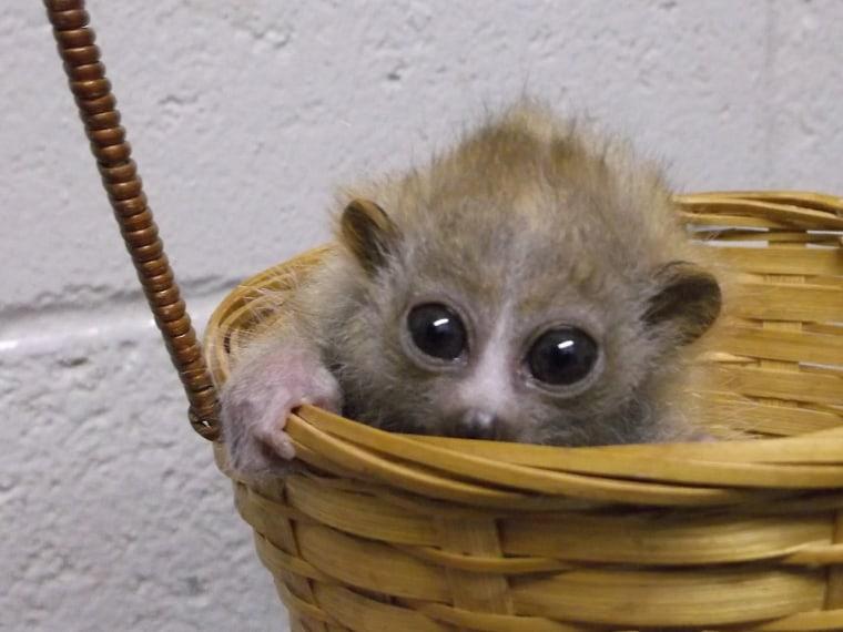 A pygmy slow loris.