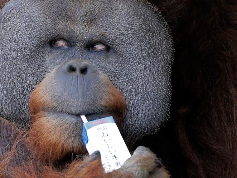 25-year-old male Sumatran orangutan