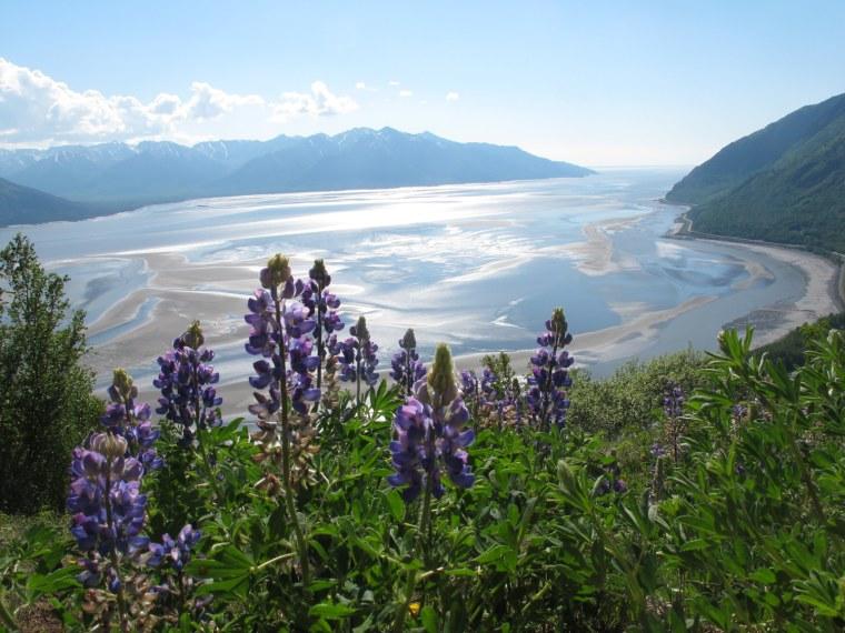 Lupine grows along Bird Ridge Trail on Thursday, June 13, 2013, in Anchorage, Alaska.