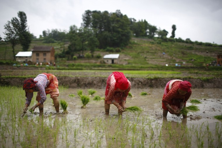 In this file photo, Nepalese farmers plant rice saplings in the rice paddy field in Khokana, Lalitpur. Rice is considered the main staple for Nepalese.