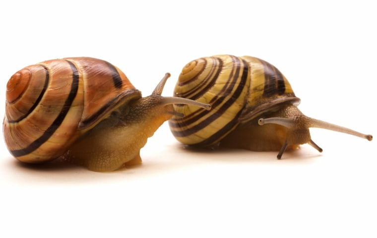 Cepaea nemoralis, a common land snail, may have been brought over to Ireland when European travelers came over to settle there.
