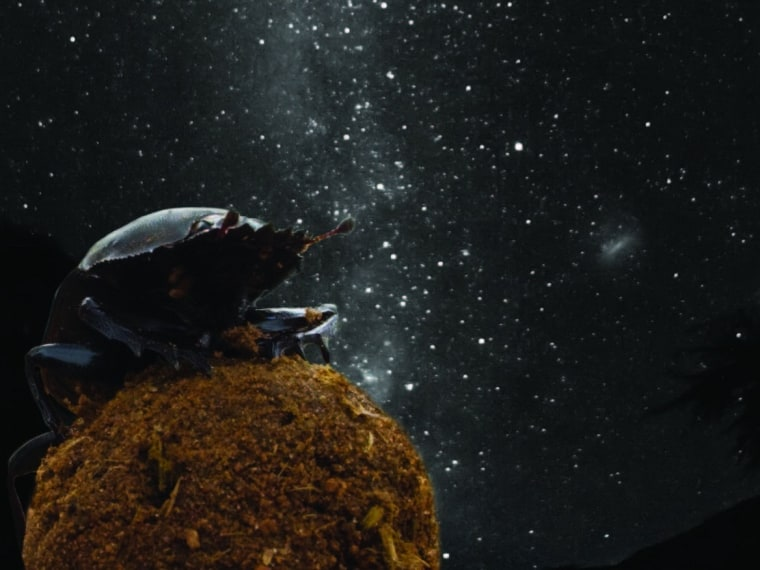You might expect dung beetles to keep their
