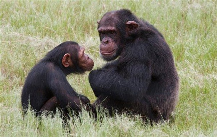 Chimpanzees sit in an enclosure at the Chimp Eden rehabilitation center, near Nelspruit, South Africa in this February 2011 photo.