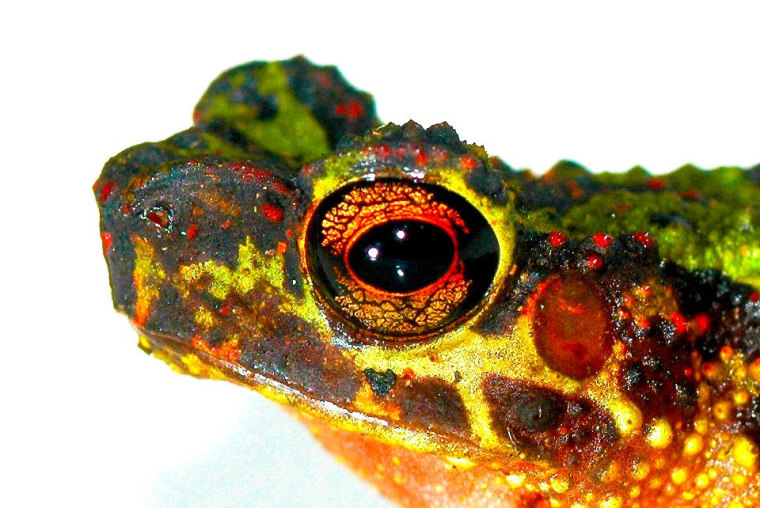 The head of an adult female Borneo Rainbow Toad, also known as the Sambas Stream Toad, is seen in profile.