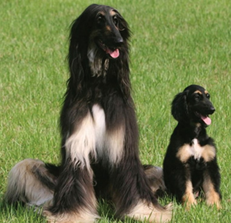 In this 2005 photo, 2-month-old Snuppy, the world's first cloned dog, appears at right alongside the 3-year-old male Afghan hound whose skin cells were used to clone him