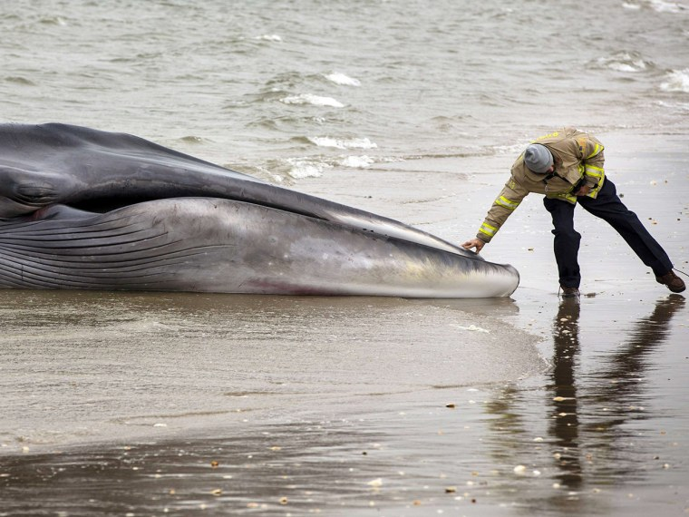 An emergency personnel reaches out to touch a deceased beached whale in the Queens borough region of Breezy Point, New York, December 27, 2012.