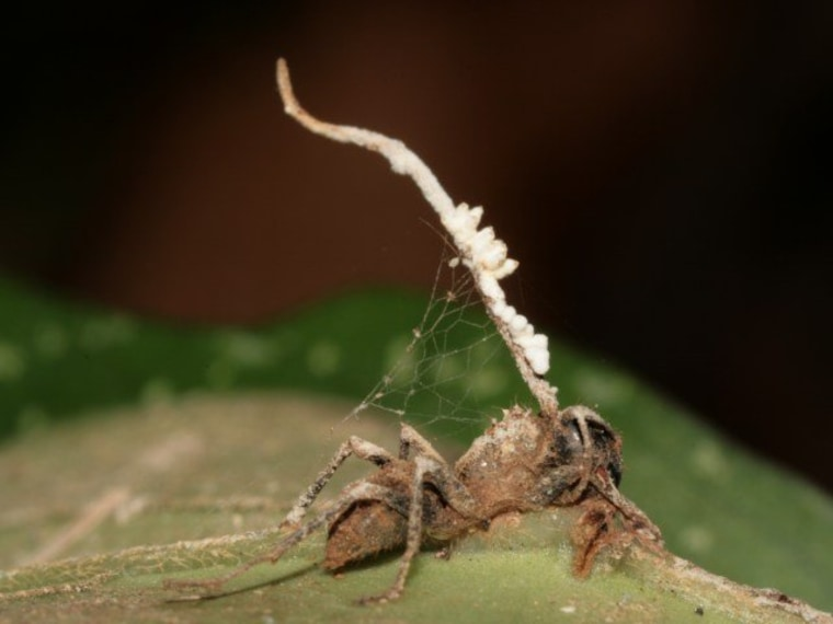 One fungus took over the brain of this zombified ant, but the first fungus was sabotaged by a different type of parasitic fungus.