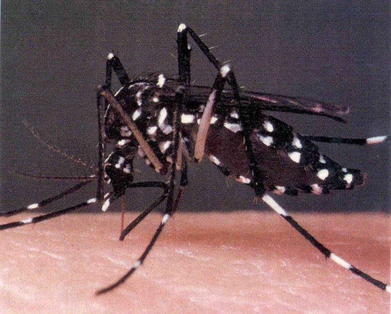 The Asian tiger mosquito has a real bloodlust for humans.