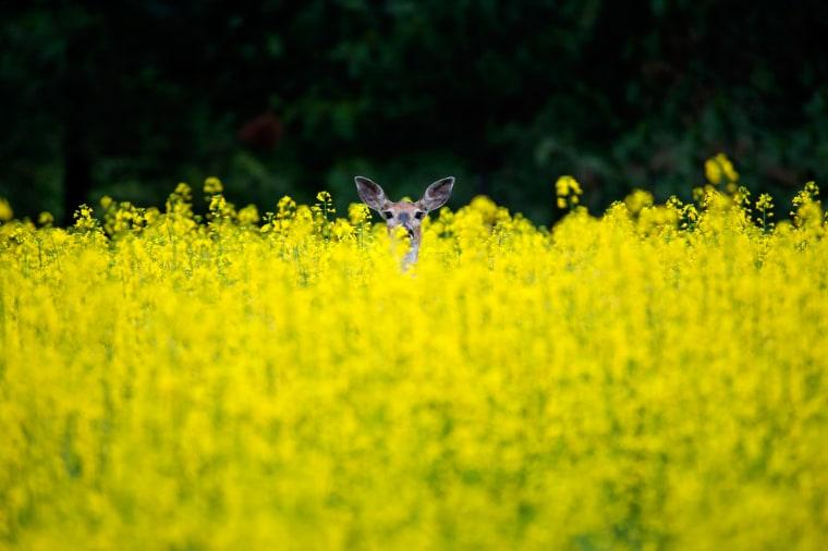 A deer peeks out from a field in Spokane, Wash., June 24.