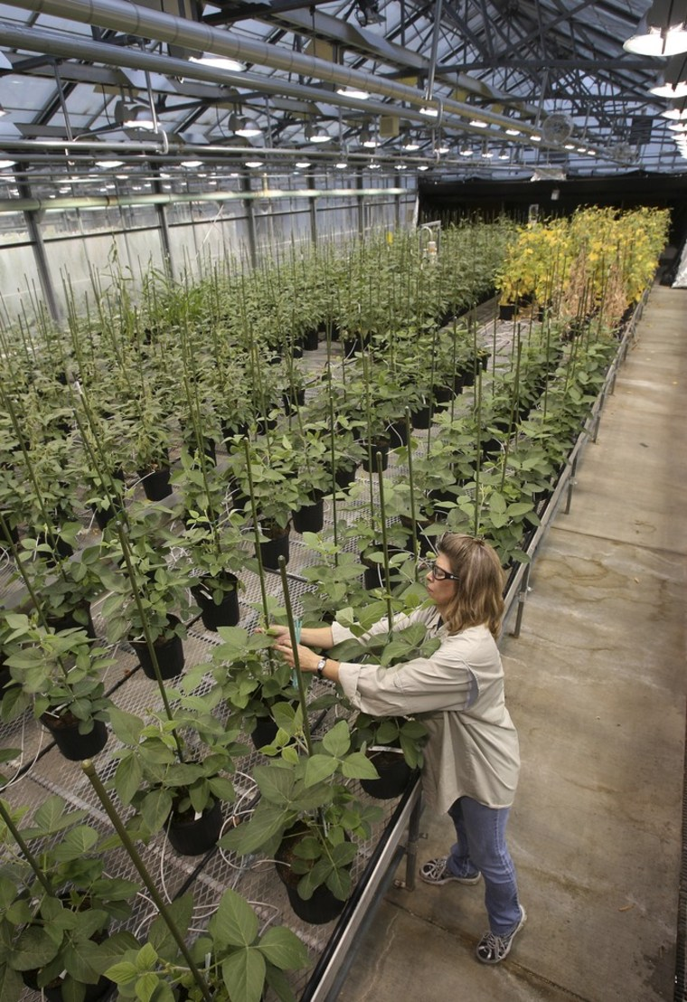 Monsanto employee Nancy Brumley ties up a stalk of soybean in the at a Monsanto Research facility in Chesterfield, Mo., in 2009.