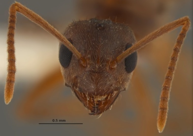 Beware the 'crazy ants': They'll destroy your electronics