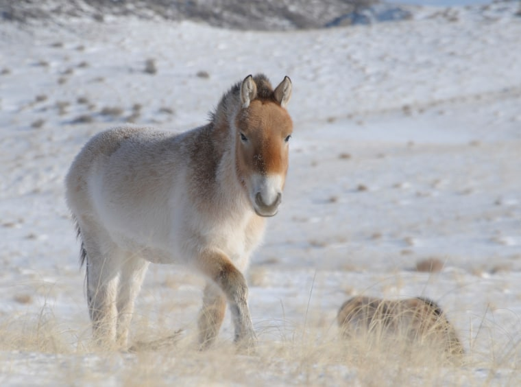 Image: Przewalski horses