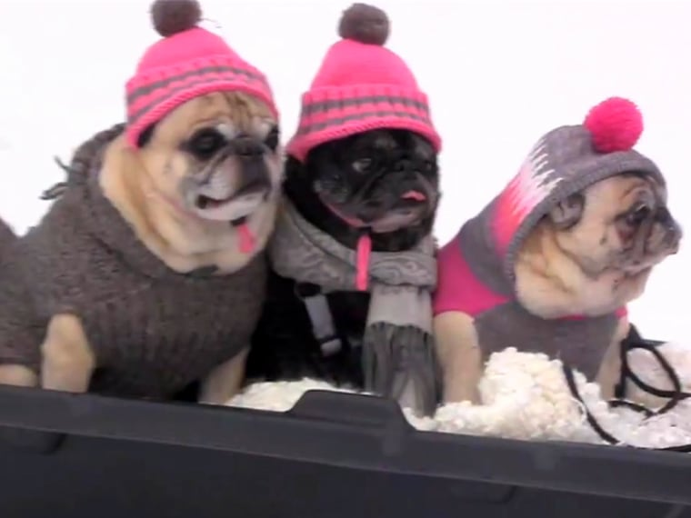 Image: Pugs go sledding