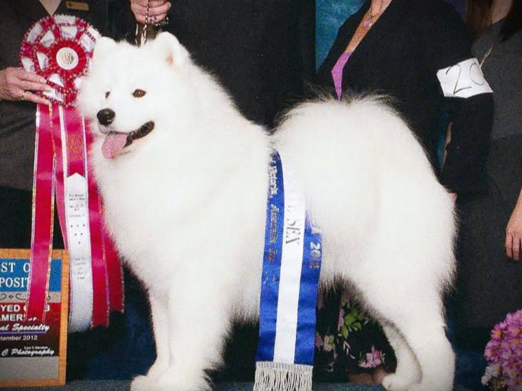Image: Winning show dog Samoyed Cruz
