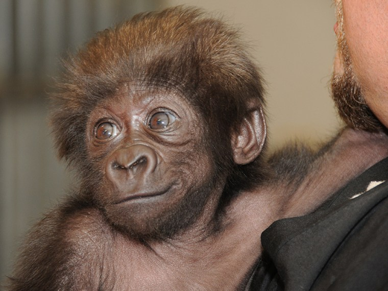 This photo provided by the Cincinnati Zoo on Thursday, February 28, 2013, shows a baby gorilla named Gladys being held by a surrogate human mother at ...
