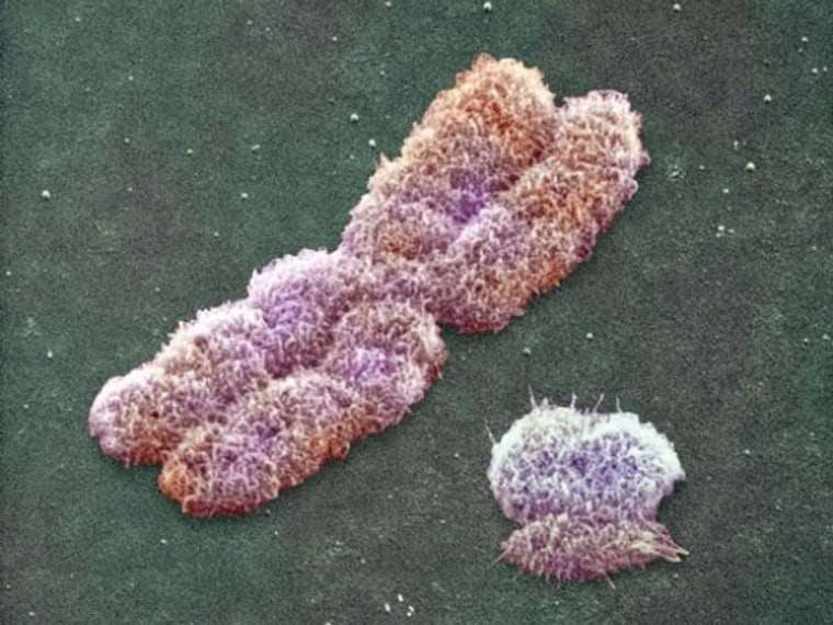 A photomicrograph shows an X chromosome at left, alongside a shrunken Y chromosome. The Y chromosome is passed down exclusively from father to son and can serve as an indicator of male-line human diversity.