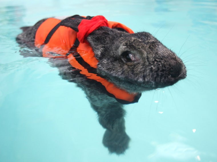 Feature Rates Apply Mandatory Credit: Photo by M&Y Media/Rex / Rex USA (1261183p) Continental Giant Rabbit 'Heidi' swims during her hydrotherapy sessi...