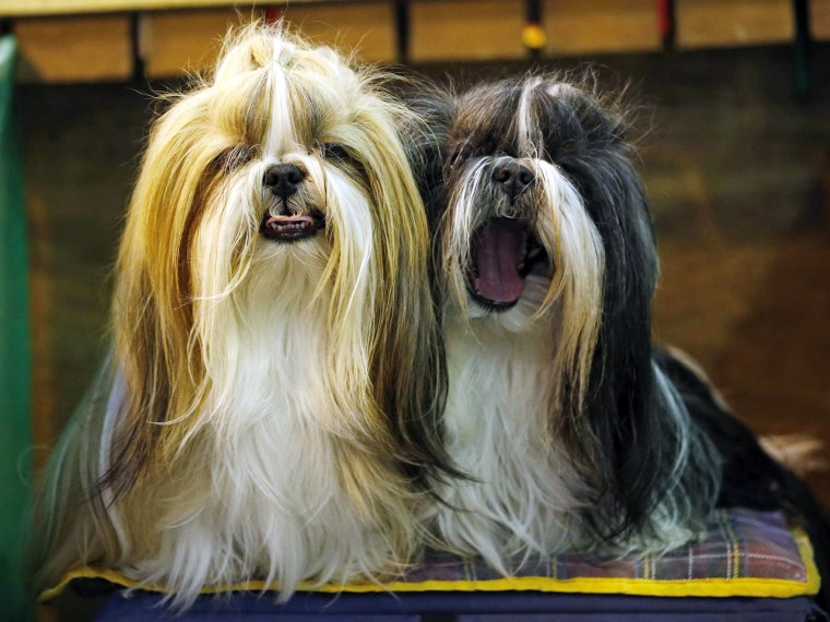 Shih Tzu dogs await judging during the second day of the Crufts Dog Show in Birmingham, central England March 8, 2013. REUTERS/Darren Staples   (BRITA...