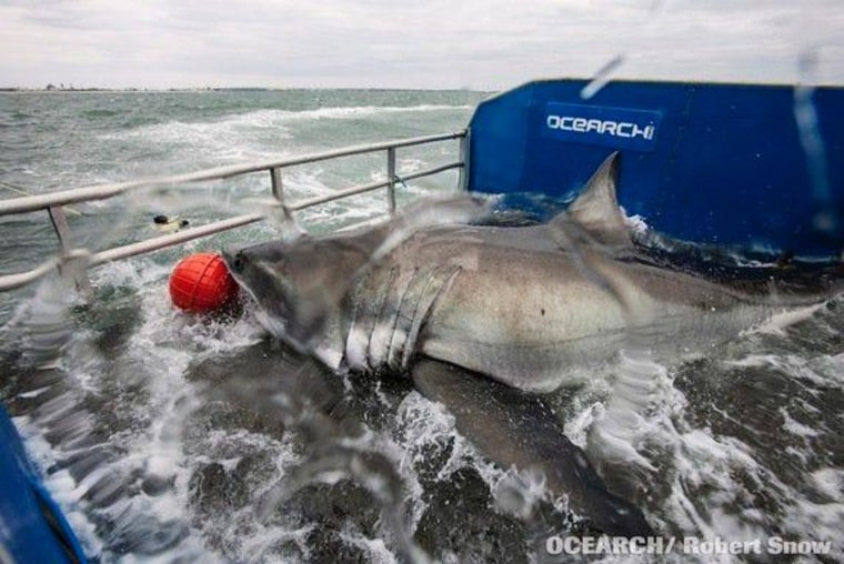 Shark project has some teeth -- a 2,000-pound great white