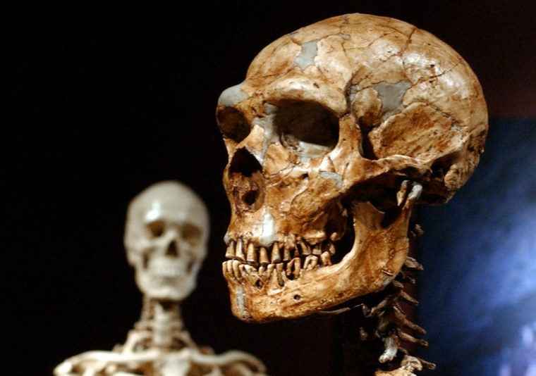 A reconstructed Neanderthal skeleton, right, is on display near a modern human's skeleton, left, at the American Museum of Natural History in New York.