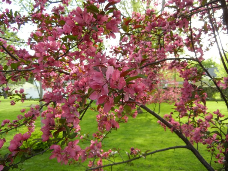 Crabtrees blooming in Ohio signal Spring!