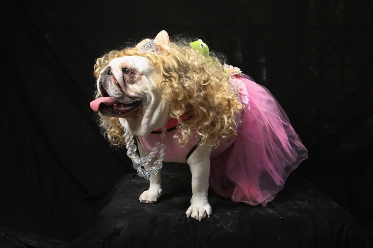 I'm a pretty girl: Bulldog Bella poses as Miss Piggy at the Tompkins Square Halloween Dog Parade on October 20, 2012 in New York City. Animal owners w...