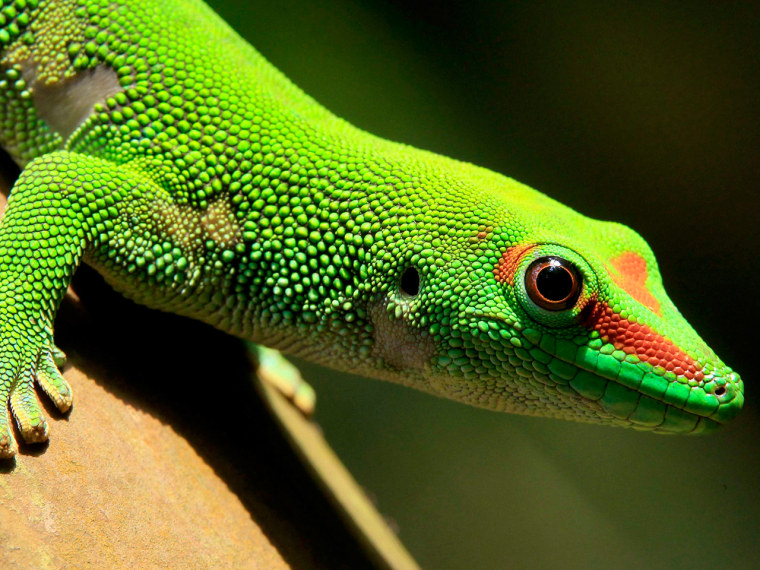 A Madagascar day gecko sits on a perch in the Masoal rainforest hall at the zoo in Zurich March 19, 2013.
