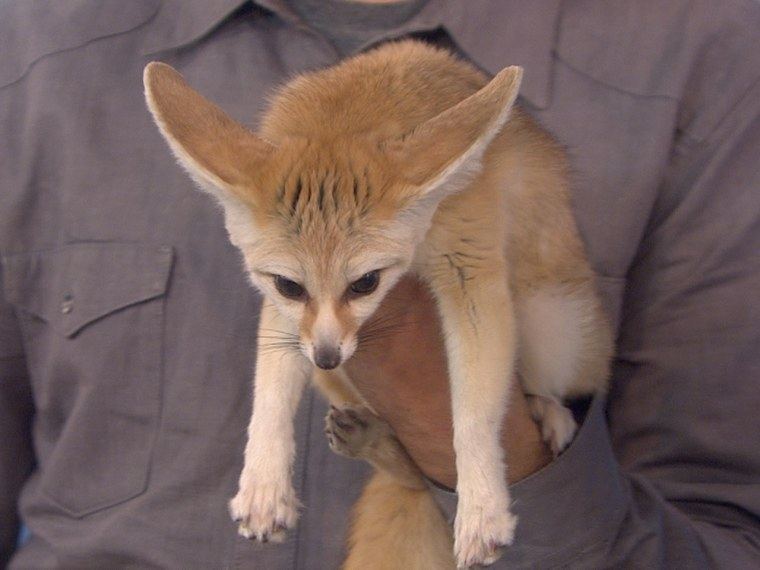 Animal expert Jeff Musial shows off five animals that each have a unique, extreme feature, including fennec foxes with extremely large ears, spider monkeys with very long arms and legs, and a skink that looks like it has two heads.