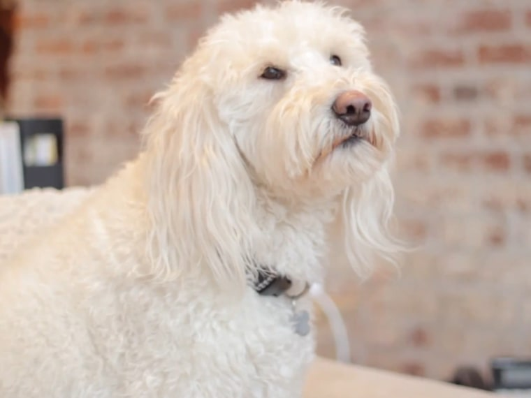 An Oregon golden doodle named Ramona has asked presidential pooch Bo Obama to attend a fundraising event.
