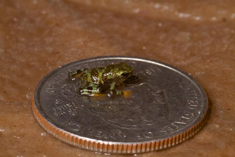 A baby limosa harlequin frog, the target of a big conservation effort, sits atop a U.S. quarter.