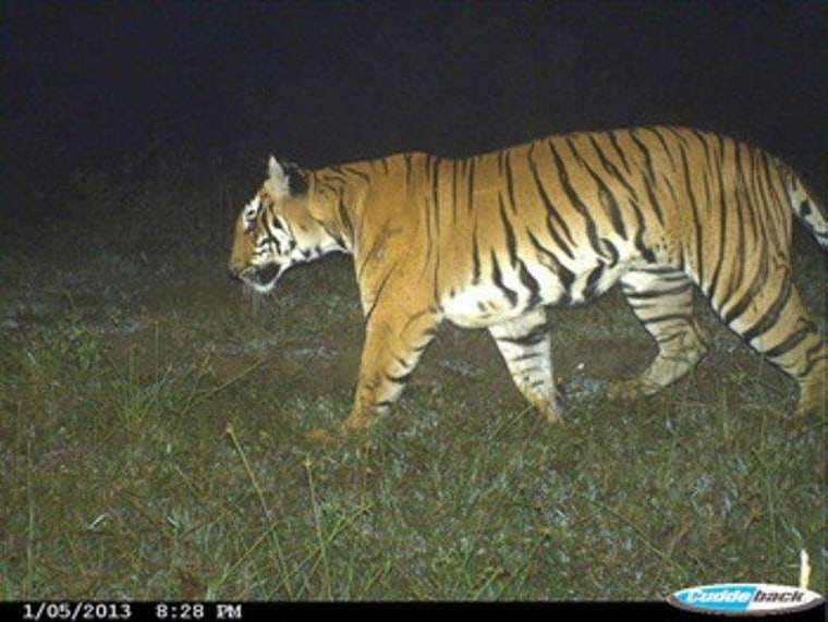 An adult tiger photographed on Jan. 5, 2013, in Kerala, southwest India.