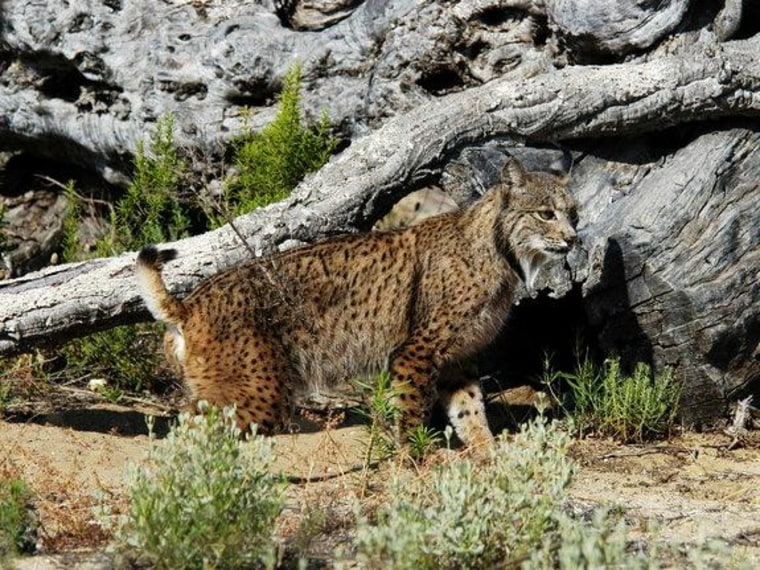 The Iberian lynx is the most endangered wild cat species worldwide.