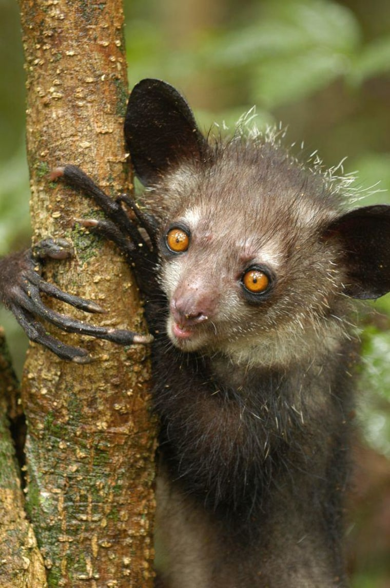 An aye aye, a type of lemur, lives in Madagascar. A new study highlights genetic diversity among various populations, aiding conservation of the endangered species.