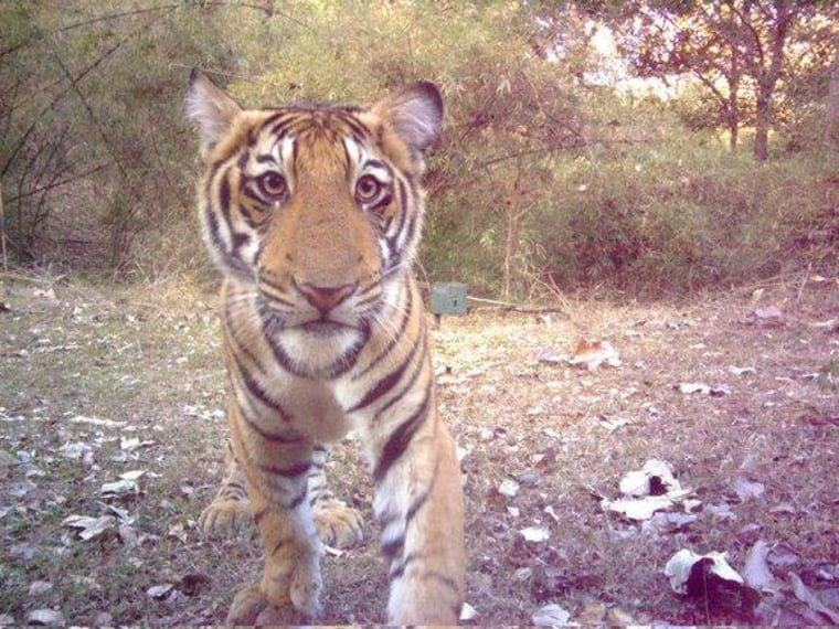 This tiger cub, about 4 to 5 months old, was photographed by a camera trap in India's Bhadra Tiger Reserve.