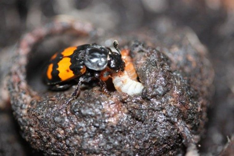 In the animal kingdom, cuckolded males will care for the offspring of interlopers unless female infidelity is common and caring carries a high cost, as with burying beetles.