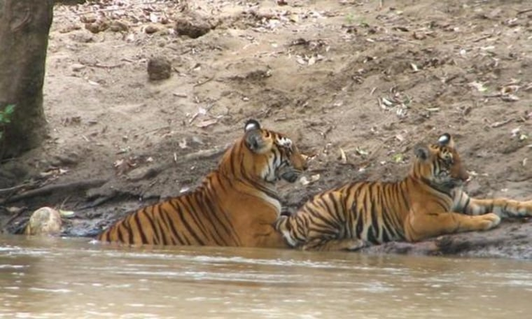 A tigress and her cub rest in India's Sathyamangalam Wildlife Sanctuary.