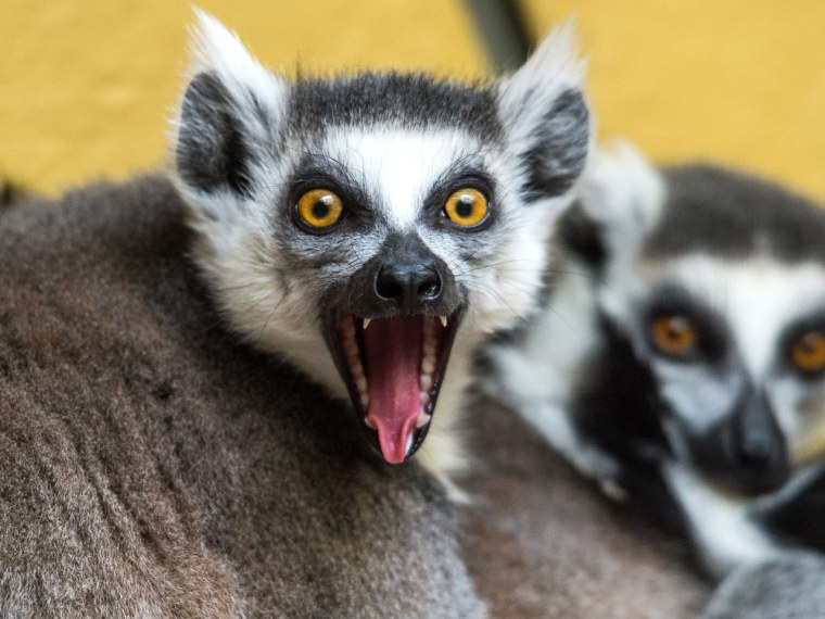 A ring-tailed lemur reacts in an enclosure at the Tierpark zoo in Straubing, southern Germany on March 25, 2013. The animals inhabiting the arid regio...