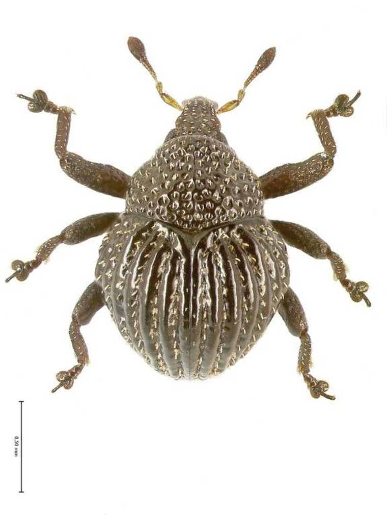 This picture shows one of the newly described species, Trigonopterus echinus.