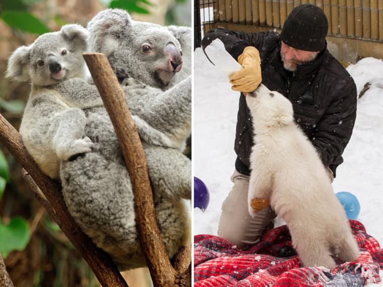 Image: Baby koala and baby polar bear