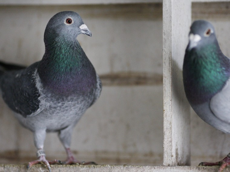 """PETA is asking Queen Elizabeth to end her support of racing pigeons, which they deem a """"cruel"""" tradition."""