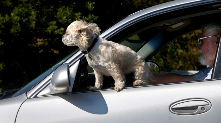 A small dog gets a face full of fresh air while riding in a car in Great Falls, Mont., on Wednesday, Sept. 12, 2007. (AP Photo/Great Falls Tribune, R...