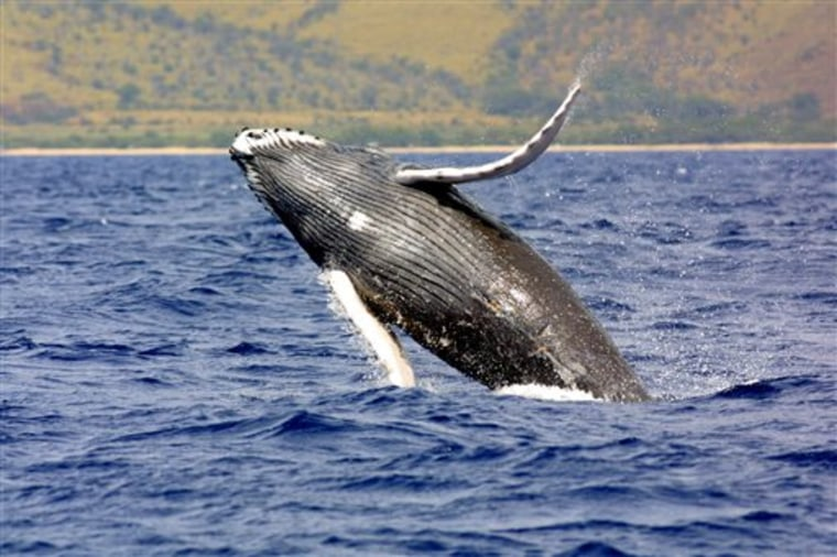 Hawaii fishermen want humpback whales off endangered list