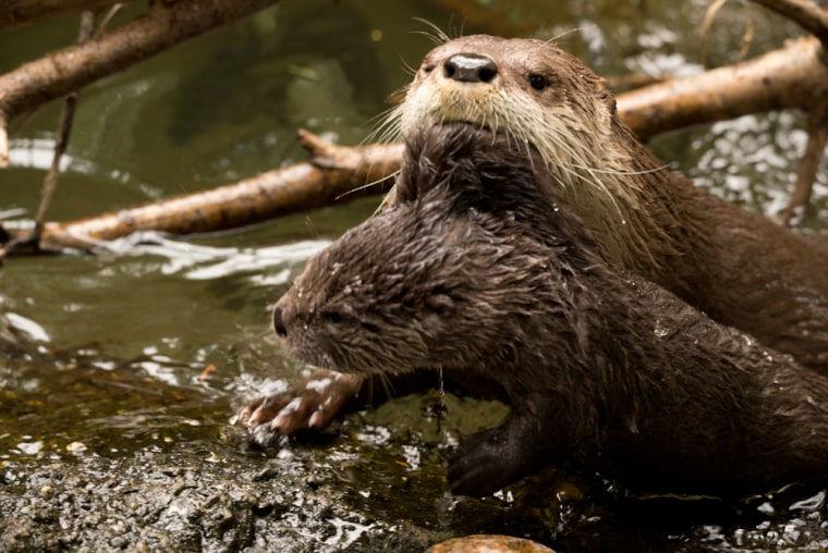 River otter Tillamook teaches her young pup Molalla how to swim during Spring Break 2013 in the Oregon Zoo's Cascade Stream and Pond Exhibit. © Oregon...