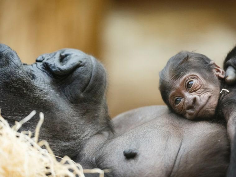 gorilla andher baby