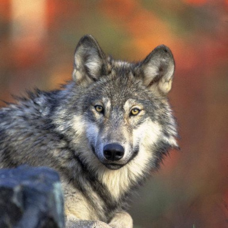 The gray wolf (Canis lupus lycaon), also known as the timber wolf, is the largest wild member of the dog family. Found in parts of North America, gray wolves are making a comeback in the Great Lakes, northern Rockies and Southwestern United States.